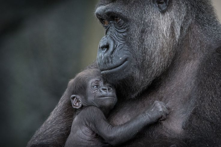 Nothing beats cuddles with mum! Gemma Ortlipp caught this gorgeous moment between Mbeli and little Mjukuu at Taronga's Gorilla Forest.