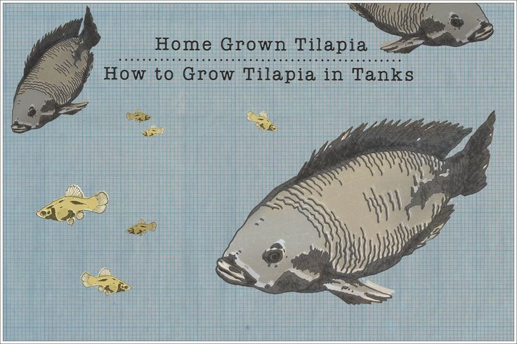 130 best images about fish farming on pinterest raising for How to make tilapia fish
