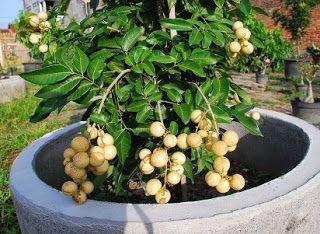 cara menanam buah kelengkeng dari biji,cara menanam kelengkeng supaya cepat berbuah,harga tabulampot lengkeng,tabulampot kelengkeng pingpong,tabulampot lengkeng aroma durian,