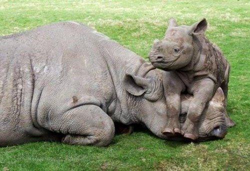 Smiling rhino