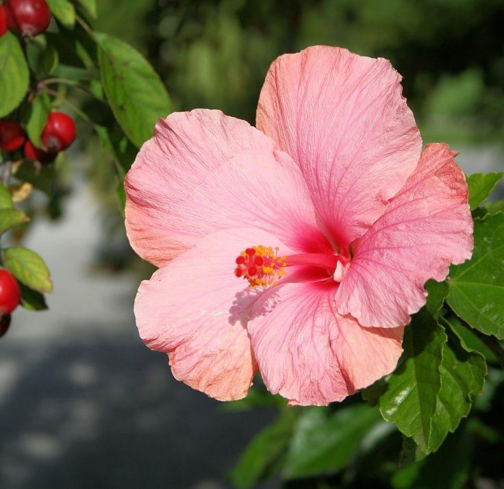 Hibiscus, Flower, Floral, Hibiscus Rosa Sinensis    free