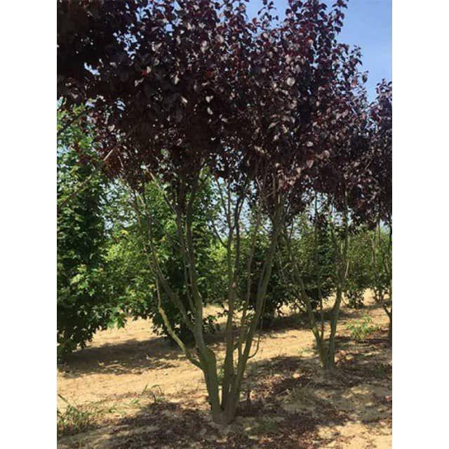 Prunus cerasifera 'Nigra' / Blut-Pflaume 250-300 cm (Schirmform) - Baumschule NewGarden