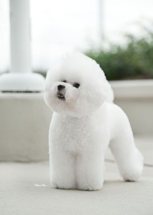 Bichon Frise. Good adaptability for temps, smart, sometimes hard to housebreak, not many health probs. Small and still pretty good with kids. -1