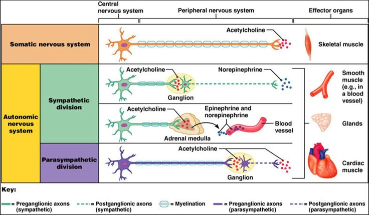 Peripheral Nervous System: Somatic and Autonomic Nervous System (Sympathetic and Parasympathetic)