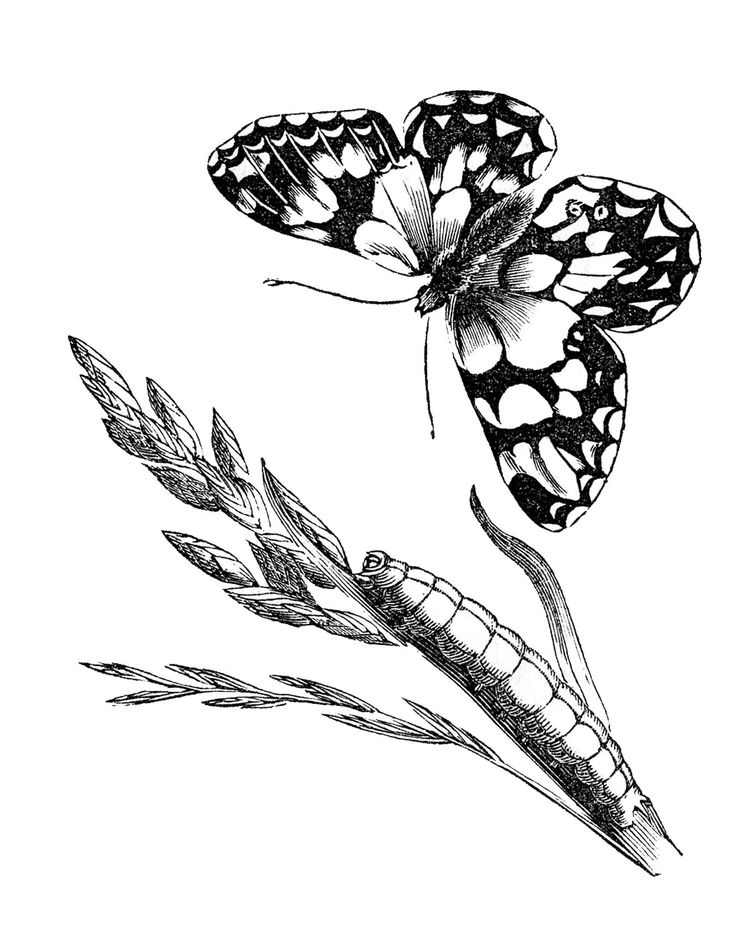 *The Graphics Fairy LLC*: Vintage Natural History Images - Butterflies