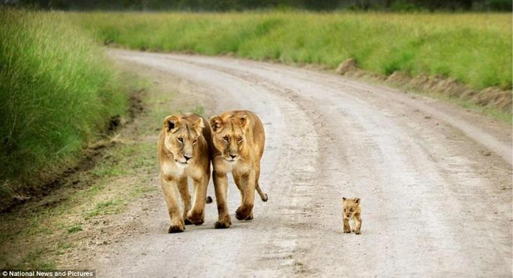 Im Bild ist ein kleiner Löwe zu sehen, der auf wackeligen Beinen und unter den wachsamen Augen von zwei Löwinnen in Kenia seine ersten Schritte macht    Er möchte die Welt entdecken, experimentieren, aus Fehlern lernen... leben. Wünsche, die alle Tiere haben, ob menschlich oder nichtmenschlich.    Wir müssen anfangen auch die Bedürfnisse anderer Tiere zu respektieren. Und wir können bereits heute damit beginnen.    Foto: David Lazar