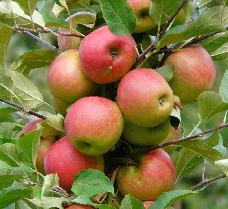 Pick Your Own: Amazing Apple Orchards in NH | The Inn On Golden Pond | Squam Lake, NH
