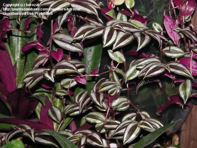 1000 ideas about wandering jew on pinterest tall planters outdoor flower pots and house plants - Wandering jew care ...