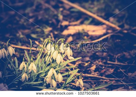 First spring flowers white snowdrops blooming in the garden, vintage background.