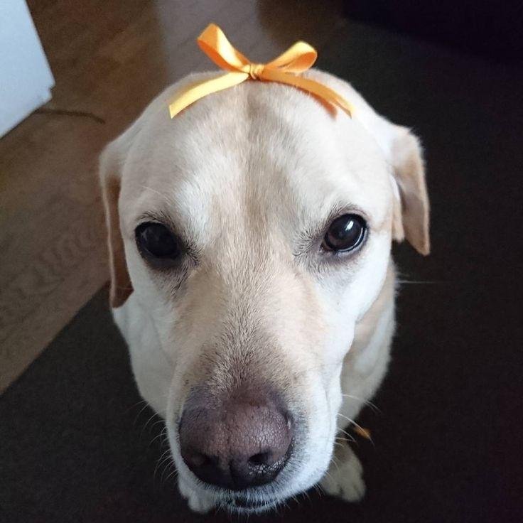 I taught my friend how to tie a ribbon ❤ I practiced ☺  *  裏表になったり、木登りになったり、巧く結べないリボン🎀  *  友達に結び方を教えて貰ったよ☺  *  なつをラッピング✨  *  練習、練習🎵どや?  *  #labrador #labradorretriever #ribbon #precice #dogstagram #doglife  #labradoodlesofinstagram #lab   #リボン #長年の悩み解決 #練習あるのみ  #ラブラドール大好き   #ラブラドールのいる暮らし   #いぬすた #いぬのきもち #迷惑   #ラブラドールレトリーバー   #ラブラドール