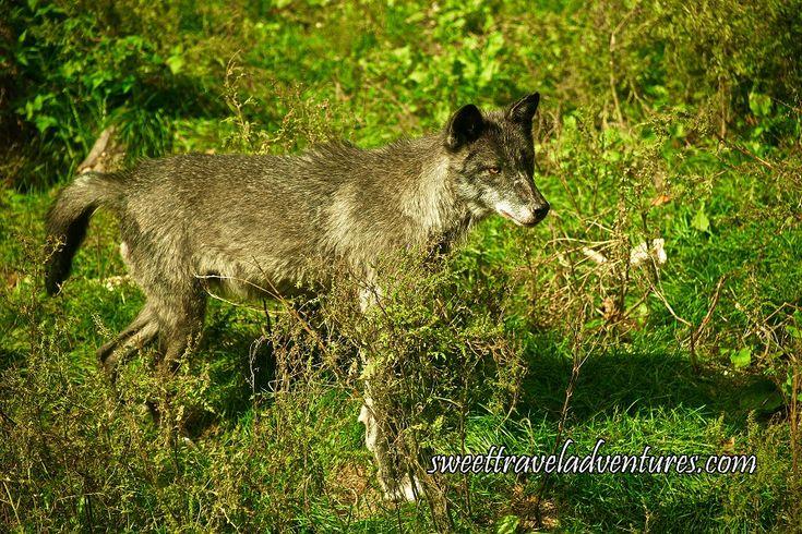 Grey Wolf in Enclosure in Wolf Centre in Haliburton Forest in Haliburton Highlands, Ontario