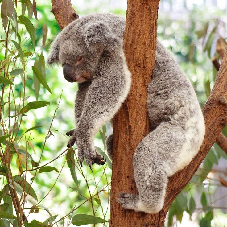 Those Monday morning feelings.  Photo courtesy of Australian koala foundation on Facebook