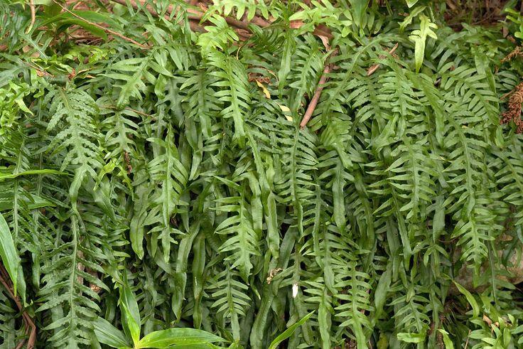 Microsorum scandens 1001080687 Variegated plants