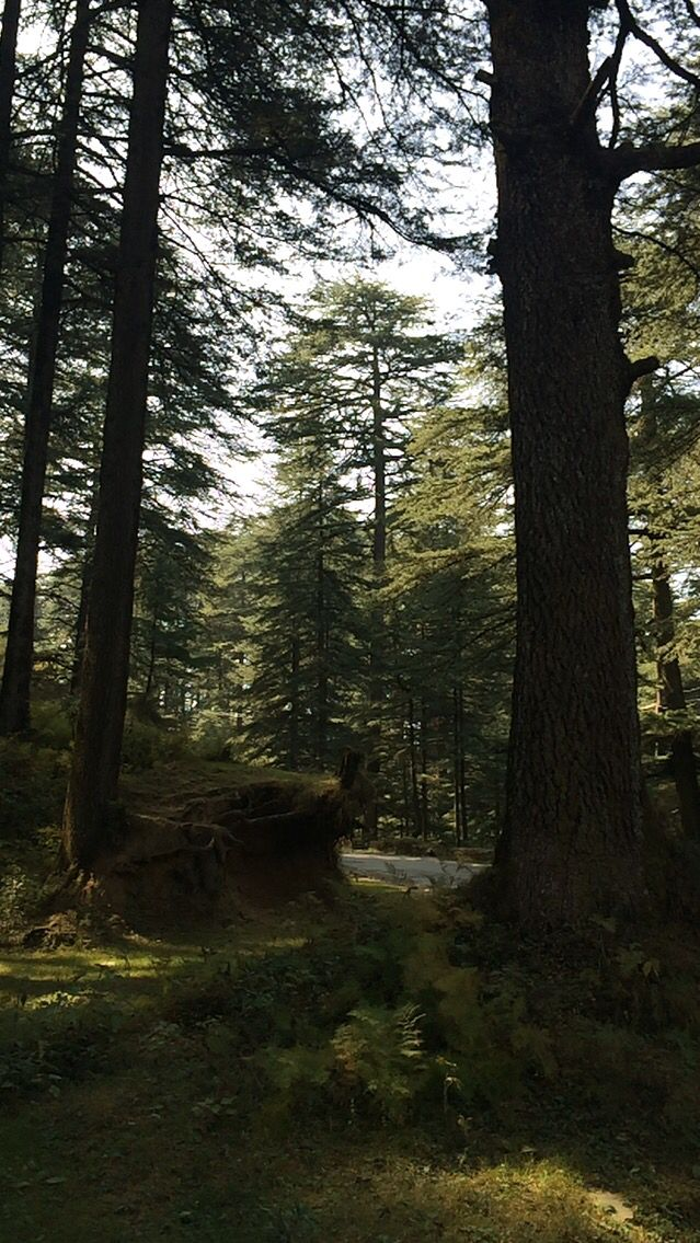 Shimla forests