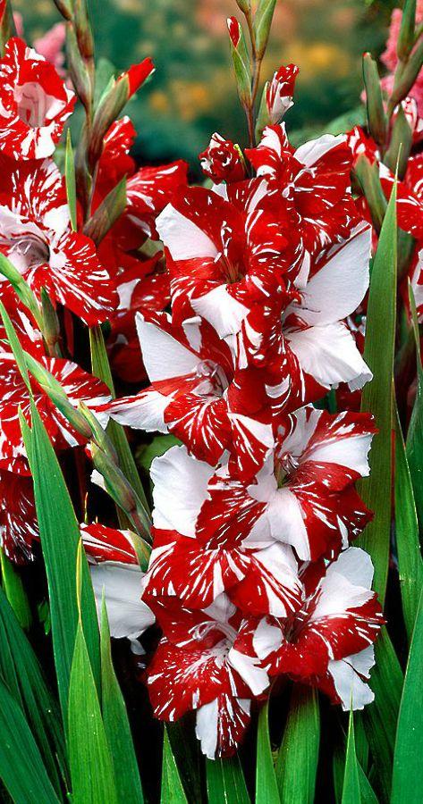 Gladiolus 'Zizanie' [Family: Iridaceae]