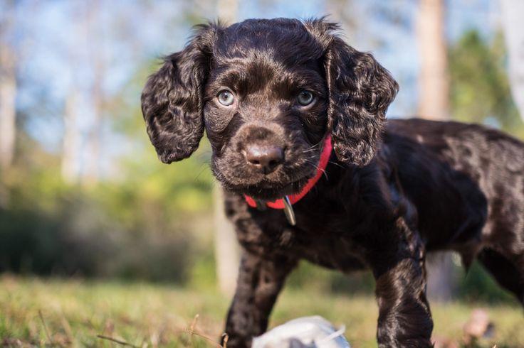 Boykin Spaniel Boykin spaniel, Labrador retriever, Dogs