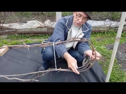 (24) Первая выломка побегов на кустах винограда с рукавами, сформированными изгибом петлей - YouTube