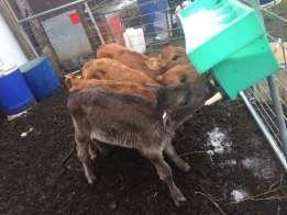 Calfs Bonsmara with Brahman heifers
