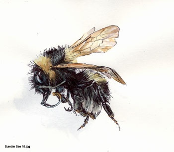 Bumble Bee 15, biro and watercolour 2011, from a series of works inspired by working with Darwin's Beetle Collection at the Cambridge University Museum of Zoology.