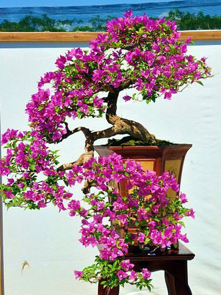 Bonsai Bougainvillea                                                                                                                                                                                 More