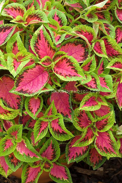 Green Annual Flowers Coleus Watermelon Solenostemon Foliage Plant In And Red