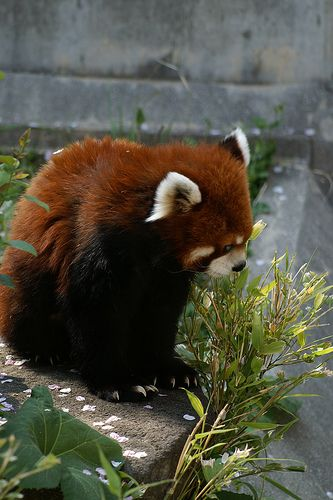 Sichuan Red Panda @ Kobe City Oji Zoo | Flickr - Photo Sharing!