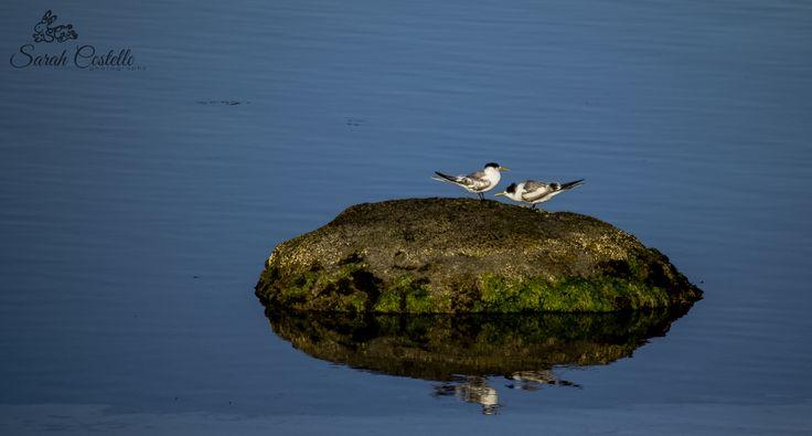 Tern's on a rock