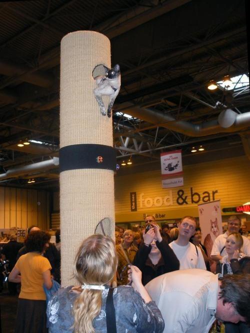 Cobweb climbing a Tomcat 4 at the Supreme Cat Show