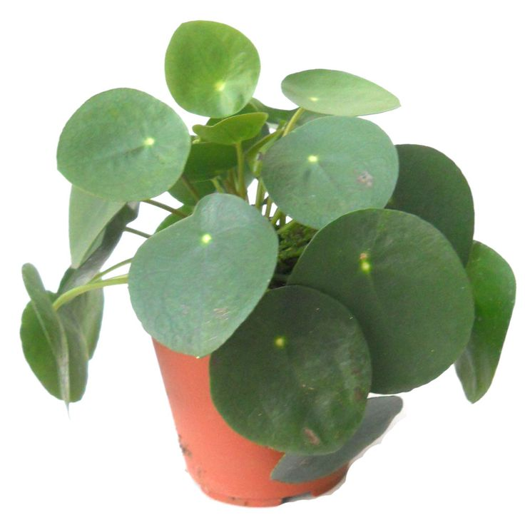 17 best ideas about chinese money plant on pinterest for Kajuard plantes
