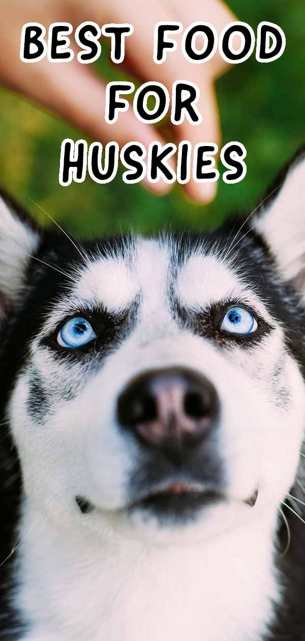 Best Dog Food For Huskies How To Handle The Picky Eater Best