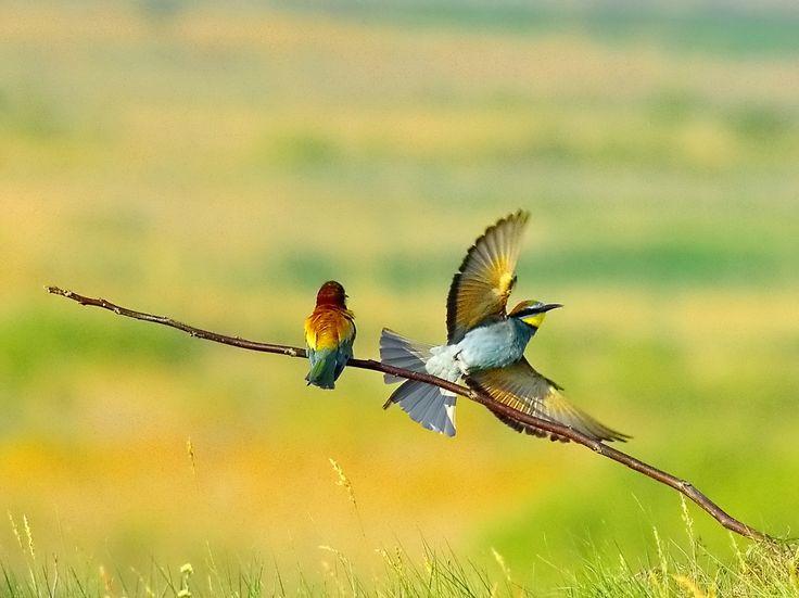 bee eater in the Danube Delta-romania by www.chettusia.com