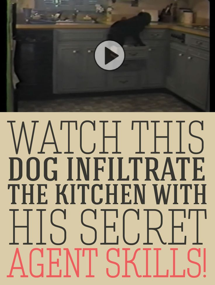 Watch this dog infiltrate the kitchen with his secret agent skills!!
