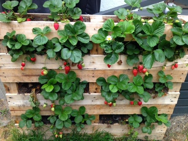 Best 25 strawberry planters ideas on pinterest for Pallet veggie garden