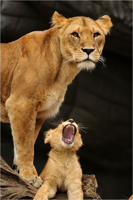 lioness and cub.   Proud mother on guard.  protecting her baby.  Beautiful.