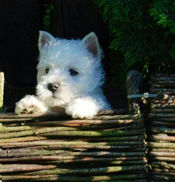 Pin By 19a67 On Westies In 2020 Westie Puppies Westie Dogs Westies