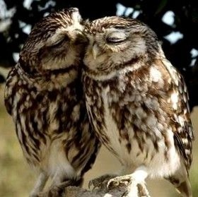 gufi 250: Aww, Owl Kiss, Sweet, Stuff, Owlkiss, Creatures, Amazing Animal, Owl Couple, Adorable Animal
