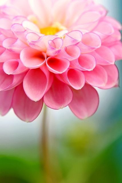 Beautiful Dahlia | A1 Pictures