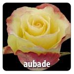 Cream Pink Edge 30 petals Head size 6.0-7.0 Exclusive at Berkeley Florist Supply