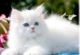 gatos persas - Pesquisa do Google