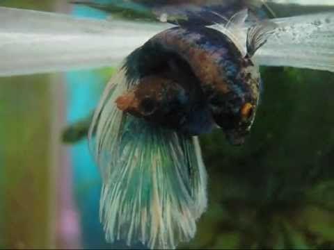59 best images about aquarium on pinterest aquarium for Betta fish behavior