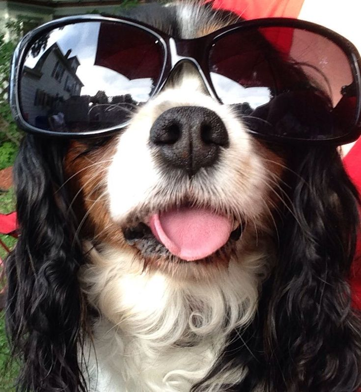 Phoenix is the coolest Tricolor Cavalier King Charles Spaniel in the world! #barkpost