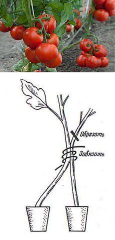 50-60 помидоров с куста..