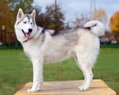 What Everybody Ought to Know About The Siberian Husky Temperament