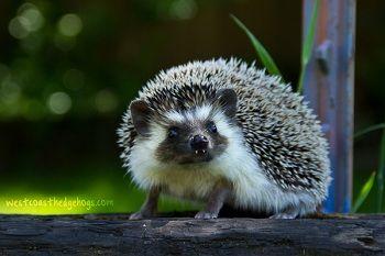 Alpha - Our Herd   West Coast Hedgehogs