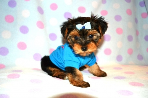 Minipups Dog Breeder Service has Puppies for Sale in Georgetown, Ontario, Canada. Close drive from Hamilton, Markham, Mississauga, Barrie and Toronto, Ontario.