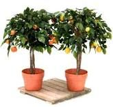 Container avacado lists varieties and sources for dwarf avacados!!!