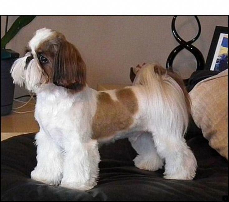 Havanese Shih Tzu Dog Shih Tzu Shih Tzu Puppy