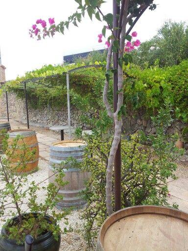 #wineroutesmallorca in #SonVives winery, Malvasia #wine