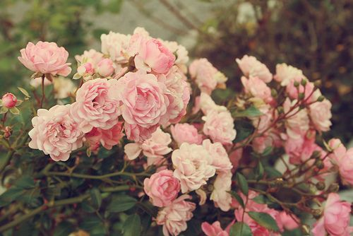 Old scented rambling roses -: Photos, Pink Roses, Posts, Gardens, Lovely, Things, Flowers, Pretty, Floral