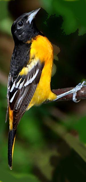 Aves en El Salvador: CHILTOTAS